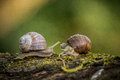 Two big garden snails Royalty Free Stock Photo