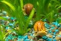 Two big snails in the aquarium Ampularia