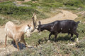 Two billy-goats of Rove fighting, Provence, south of France Royalty Free Stock Image
