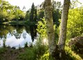 Two birch tree trunks in front of a beautiful pond with reflections in the water and green trees and bushes. Sun Royalty Free Stock Photo