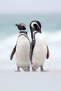 Two bird on the snow, Magellanic penguin, Spheniscus magellanicus, sea with wave, animals in the nature habitat, Argentina, South Royalty Free Stock Photo