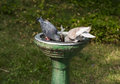 Two birds drinks water pigeons from the fountain Stock Images