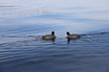 Two birds swimming to each other Royalty Free Stock Photo