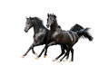 Two black arab horses isolated on white the Royalty Free Stock Photo