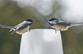 Two Black-capped Chickadees (Poecile atricapillus) talking Royalty Free Stock Photo