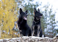 Two black German shepherds Royalty Free Stock Image