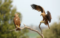 Two black kites Royalty Free Stock Image
