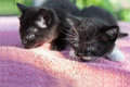 Two black kittens kitten on a background of pink coverlets Stock Photography
