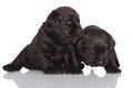 Two black labrador retriever puppies weeks old on white Stock Images