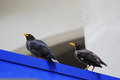 Two black myna a photo taken on a pair of bird Stock Images