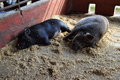 Two black pot bellied pigs doze off together in the afternoon fall asleep their pen hottest part of day they only wake up again Stock Photo