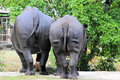 Two Black Rhinoceros Royalty Free Stock Photo