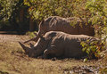 Two black rhinoceros rhinos are browsers that get most of their sustenance from eating trees and bushes Royalty Free Stock Photography