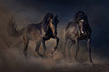 Two black stallion horse beautiful stallions run in desert dust against sunset sky Royalty Free Stock Image