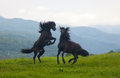 Two black stallions on a pasture Royalty Free Stock Photo