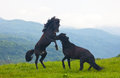 Two black stallions on a pasture Stock Images