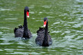Two black swan Stock Photography