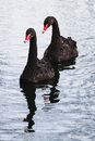 Two black swans Royalty Free Stock Photo