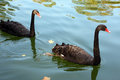 Two black swans are swimming in the autumn pond Royalty Free Stock Photo