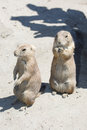 Two black-tailed prairie dog standing Royalty Free Stock Photo