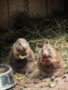 Two black-tailed prairie dogs eat fruit Royalty Free Stock Photo