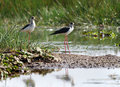 Two Black-winged Stilts in Asian Sanctuary