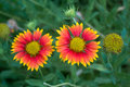Two blanket flower three gaillardia aristata in botanical garden Stock Image