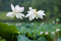 Two blooming white lotus with water drops Royalty Free Stock Photography