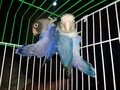 Two blue musk love bird parrot in green and white cage Royalty Free Stock Photo