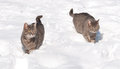 Two blue tabby cats in snow Stock Photos