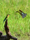 Two Blue Tailed Bee Eaters Stock Photo