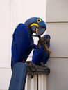 Two blue tropical pet parrots colourful deep and yellow perched on a stair ledge twig is in the beak of the front parrot Royalty Free Stock Image