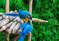 Two blue and yellow macaw parrot birds playing or fighting by putting their beaks into each other Royalty Free Stock Photo