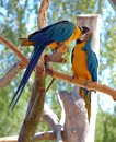 Two Blue-and-Yellow Macaw (parrots) Royalty Free Stock Photography