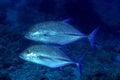 Two Bluefin trevally Royalty Free Stock Photo
