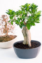 Two bonsai trees Royalty Free Stock Images