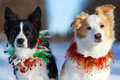 Two border collies winter portrait Stock Images