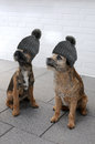 Two border terrier Royalty Free Stock Photo