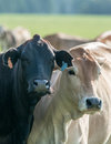 Two Bos indicus cows looking at the camera Royalty Free Stock Photo