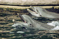 Two bottlenose dolphins in the water trained marine aquarium Royalty Free Stock Image