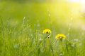 Two bright dandelion in wet grass in sun light. Grass after rain. Royalty Free Stock Photo