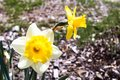 Two bright, happy, cheerful, yellow gold and white unique spring Easter daffodil bulbs blooming in outside garden in springtime