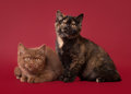Two british kittens dark red background Royalty Free Stock Photo