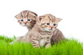 Two british kittens on grass Royalty Free Stock Photo