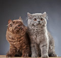 Two british longhair kittens portrait of month old Stock Photo