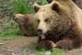 Dvě hnědý medvědi