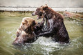 Two brown bears fighting in the water ursus arctos arctos Stock Image