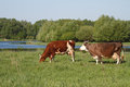 Two brown cow on a summer pasture Royalty Free Stock Photo