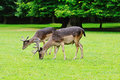 Two brown deer grazing in the meadow Royalty Free Stock Images