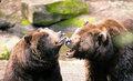 Two brown grizzly bears play around north american animal wildlife growl at each other while appearing to and bond in partnership Royalty Free Stock Images